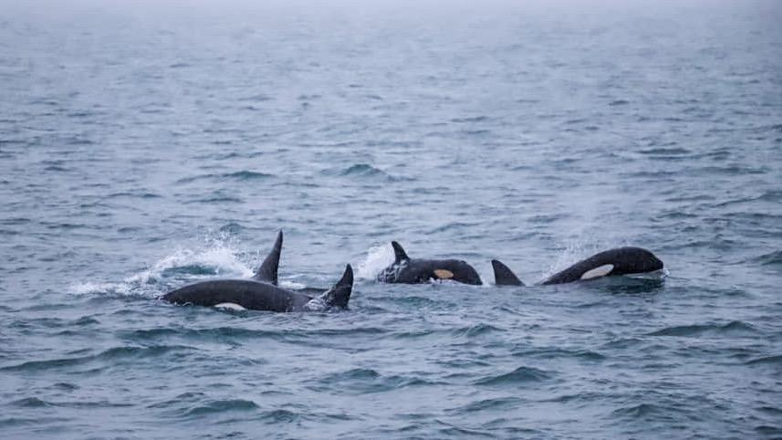 Orques islande